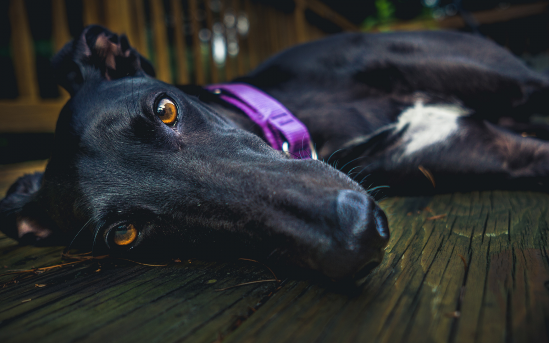 Greyhound racing is fast approaching its final lap
