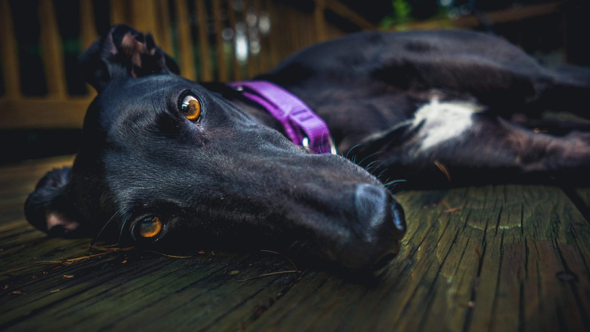 closeup of black greyhound